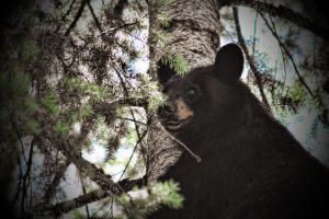 Hang ON Black Bear by skip2000