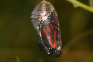 Monarch Butterfly Chrysalis 2 by natureguy