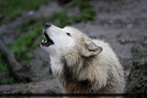 Arctic Wolf 13 by Canisography
