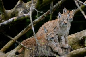 Lynx Cubs by CKPhotos
