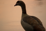Egyptian Goose Gazing at the Sunset by ringwraith10