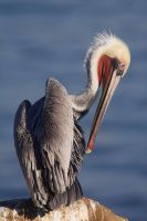 Pelican 2 by ChristopherPayne