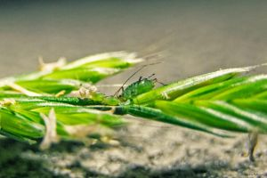Aphid Family on Wheat by dannypyle