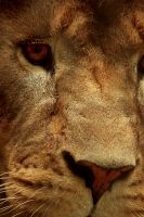 Lion View'd by ladynightseduction