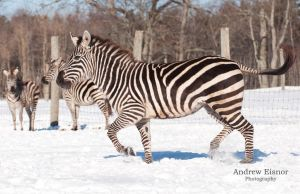 Snow Zebra by AEisnor