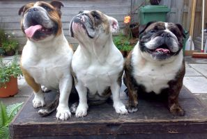 3 Bulldogs on a Box by Sabrina7777