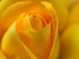 The yellow rose by ElenaAlex