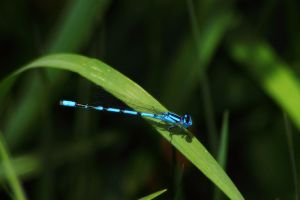 Tule Bluet 3 by S-H-Photography