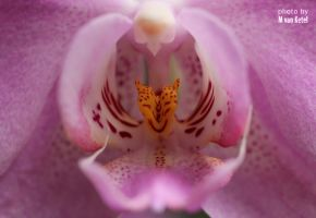 Phalaenopsis by blizzard2006