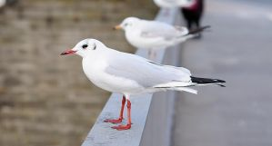 Seagull by Vargson