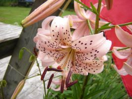 tiger lily by DianaRiceArt