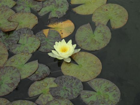 Yellow Water Lily by Bianka98