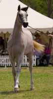 STOCK - TotR Arabians 2013-524 by fillyrox