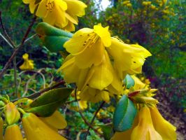 Yellow Rhododendron by Fritsa-Wolf