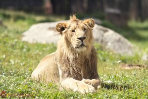 Asiatic lion. by Ravenith