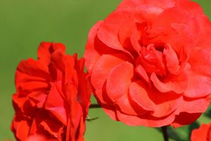 Red red roses by Isabella3991