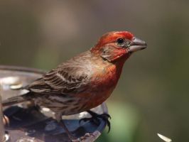 Male House Finch 5 by photographyflower