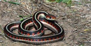 Thamnophis sirtalis inferalis by michael-ray