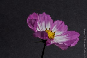 Pink and white Cosmos on black by reenaj