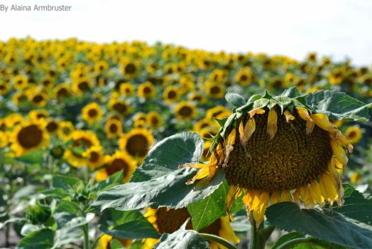 Fields of Sunflowers by AlainaLee