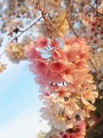 Cherry blossom on the lake 6 by looking-for-hope
