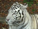 Portrait of a White Tiger by Momotte2