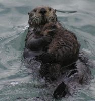 momma otter and her baby 02 by DennisDawg