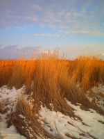 Snowy Reeds by flamingpig
