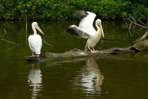 Among pelicans 3 by steppeland