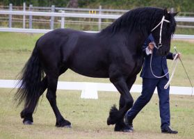 STOCK - Friesian Show 2012-135 by fillyrox