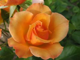 Orange Rose by cbear36912