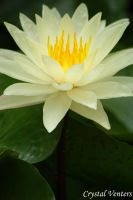 White Water Lily by poetcrystaldawn
