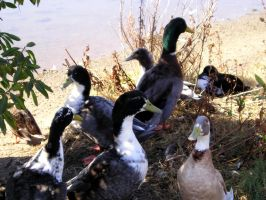 Bunches of Duck by segerquist