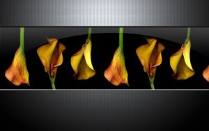Callas by McPest