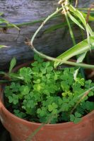 Clovers by blackdahlia