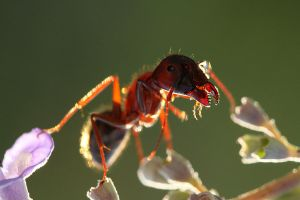 ant by lisans