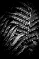 Fern in Black and White by lightzone