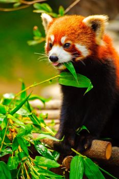 Red Panda by Andross01