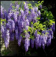 Wisteria on the wall by harrietsfriend