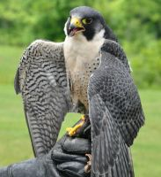 Peregrine Falcon 1 by Pawnee