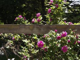 Roses By the Fence by Jyl22075