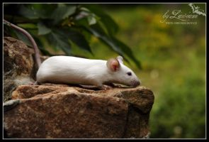 Exhibition mouse IV. by Lawiane