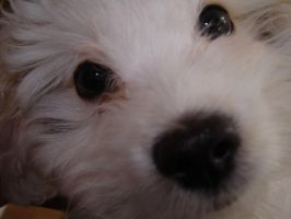 Bentley our puppy close up by eyannaandkianalovesu