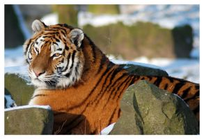 Tiger in snow by aleania