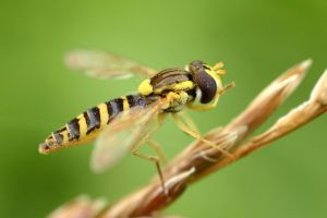 syrphid fly cleaning by beloutte