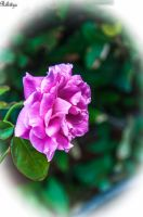 Greek soul - Greek rose by Rikitza