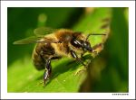 Bee by ivekvatrozic
