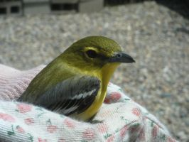 Baby Yellow Throated Vireo by KikioSapphire