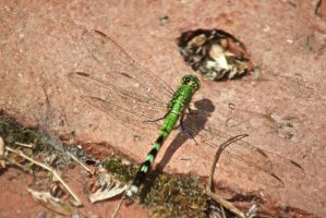 Green Dragonfly by Arie-Vampiress