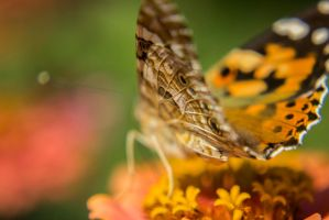 13-08 Painted Lady by evionn